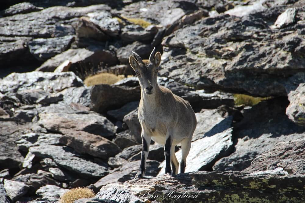 A curious mountain goat on the way up the mountain